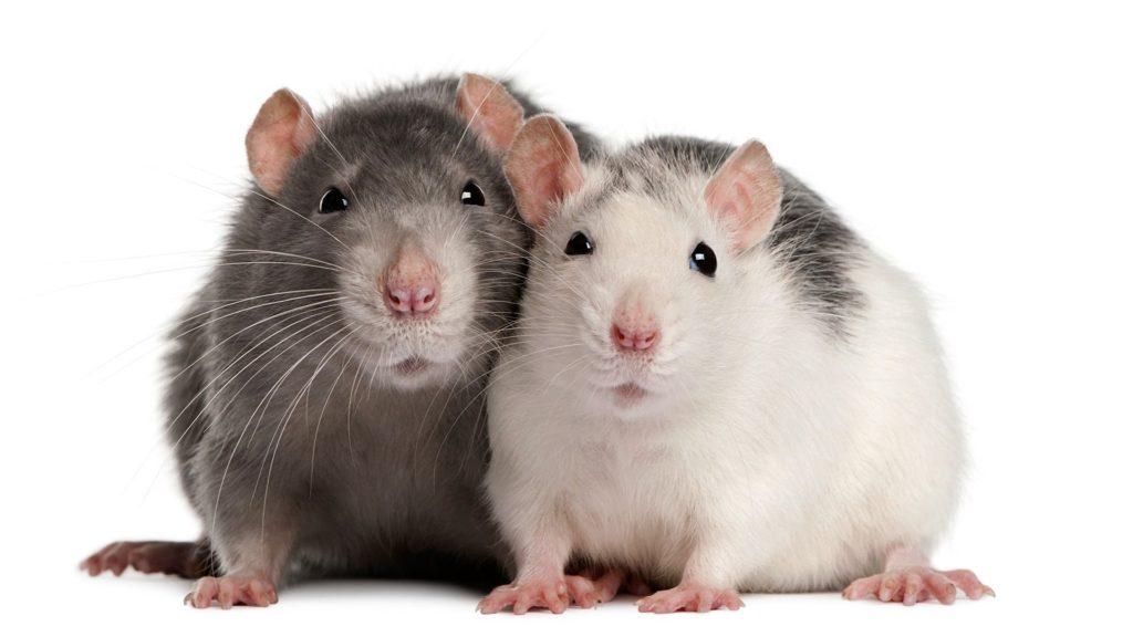 šta znači sanjati štakora štakore belog crnog mrtvog
