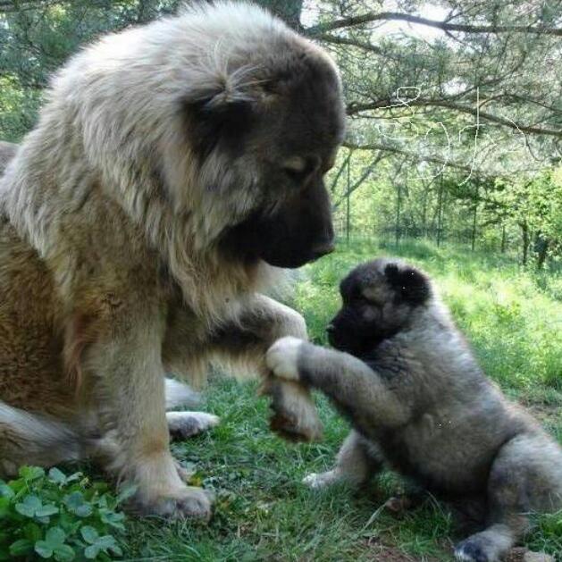 šta znači sanjati psa pas