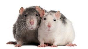 šta znači sanjati štakora štakore