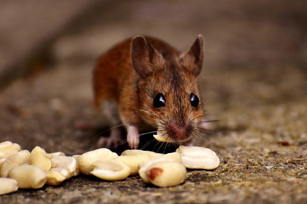 šta znači sanjati miša belog crnog
