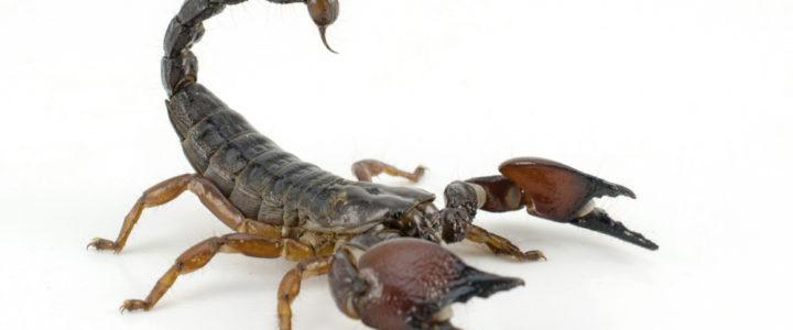 Sanjati škorpiju, škorpiona