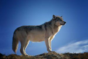 sta znaci sanjati vuka