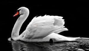 sta znaci sanjati labuda labud snovi sanovnik