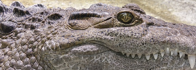 Aligatora