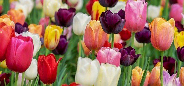 sta znaci sanjati lale tulipane znacenje sna