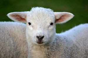 sanjat jagnje značenje sna